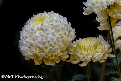 Incredible chrysanthemums