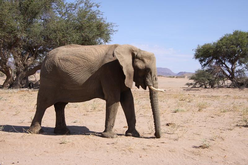 Desert adapted bull elephant