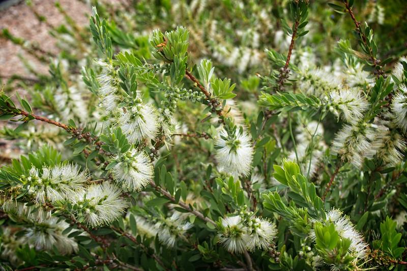 Cranbourne Garden - Callistemon citrinus 'White Anzac'