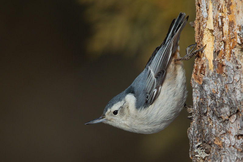 White-breasted Nuthatch - Sax-Zim Bog, Nr. Duluth, MN, USA