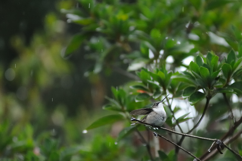 It rained all day, so I watched the humming birds get soaked.