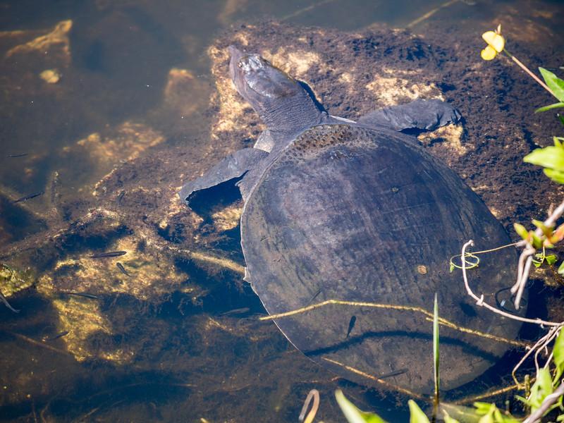 Spiny Softshelled Turtle