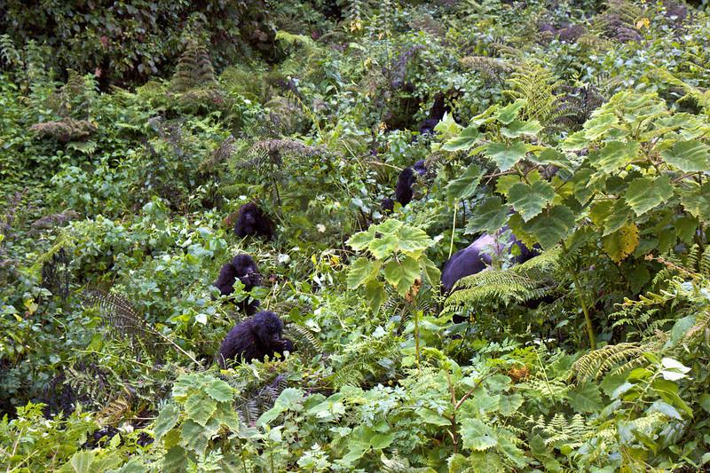 Gorillas  8403.jpg