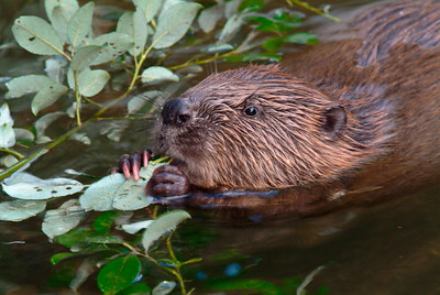 Beaver feeding on leaves