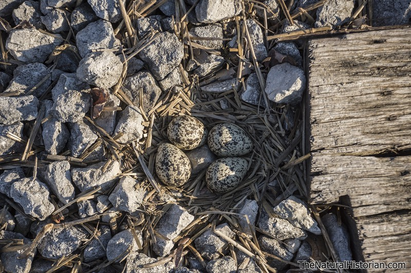 Killdeer-eggs-nest-railroad-tracks-Canton.jpg