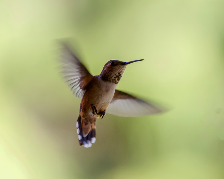 humming bird (16 of 55).jpg