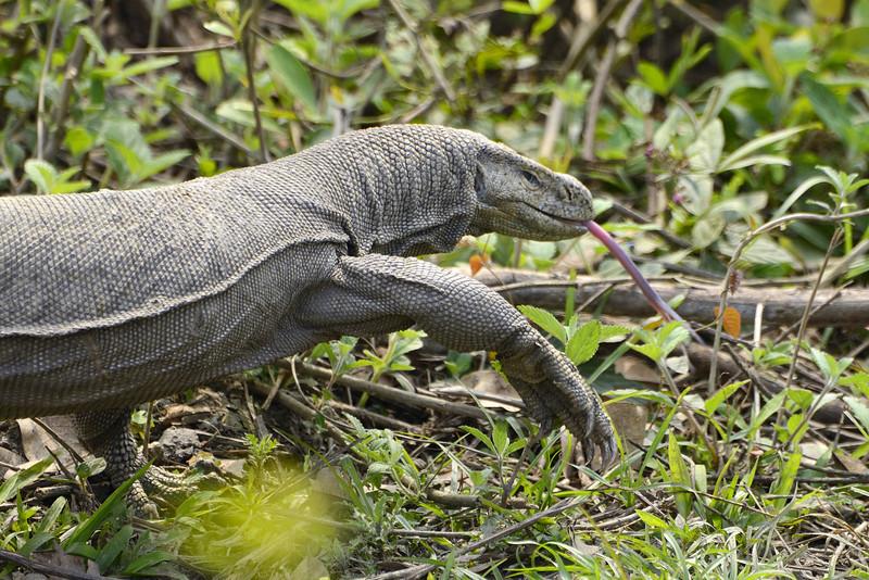 Monitor-Lizard.jpg