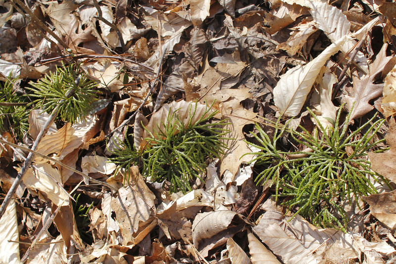 running cedar