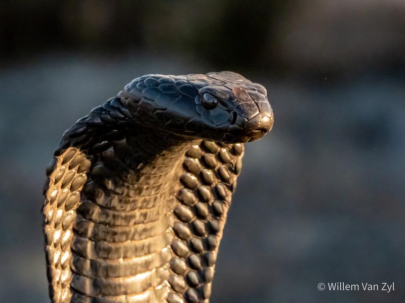 20200127 Black Spitting Cobra (Naja nigricincta woodi) from the Cederberg, Western Cape