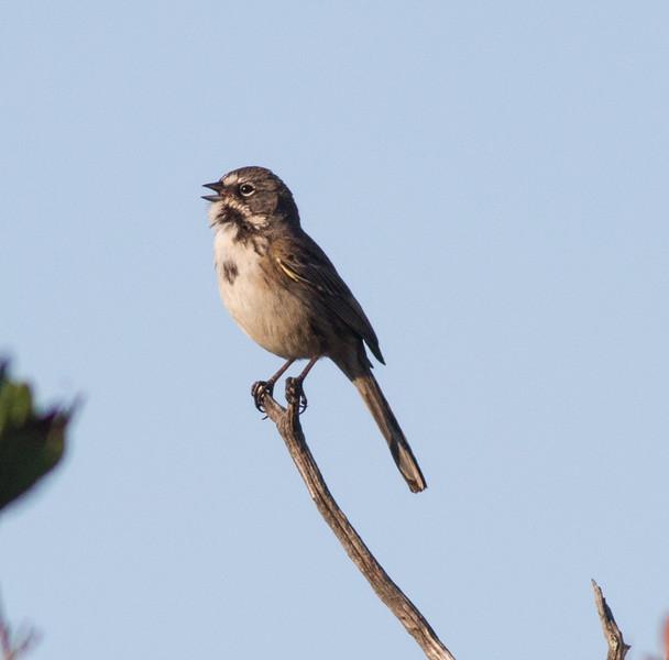 Bell`s Sparrow  Mt. Israel Escondido 2015 02 05-6.CR2