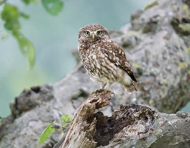 Little Owl / Steenuil / Athena noctua