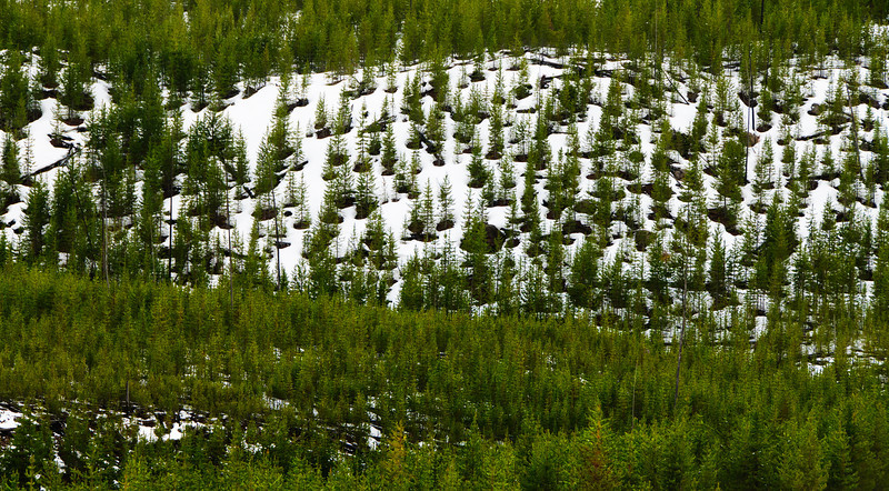 04 Jun 14.  IF you are traveling south after leaving Gibbon Falls, and IF it is near the end if the snow season, and IF the lighting is correct, you may get to see the hillside to the east of the Gibbon River sporting what looks like a grouping of trees, each in its own watering bucket. It will also require that you have a bit of an imagination, but not all that much. Of course, YOU may see the same scene as something else entirely different, such as a large chess board with LOTS of pieces all standing erect awaiting their chance to prove their valor in battle. Or maybe you'll just see trees in a snowbank that is almost melted which is, of course, the stark reality, but not nearly so interesting. However you see it, if you should, I'm thinking it will catch your eye if for no other reason other than it is a somewhat unusual sight. It immediately caught my eye when I saw it but I couldn't find a pullout anywhere close - so I just pulled the SUV over as far to the edge of the road as safely possible and hoped for minimal traffic. I got my wish as no vehicles passed in our lane for the couple of minutes I was looking for the best composition. I tried four approaches and didn't really like any of them after I reviewed them, but cropping one gave me what I'm sharing today which does a reasonably job of conveying what I was experiencing. What I really needed was either a step ladder or a platform on top of the vehicle to get the height, and perspective, I wanted. Maybe time to add an addition to the top of the SUV.  Nikon D300s; 18 - 200; Aperture Priority; ISO 400; 1/250 sec @ f / 9.