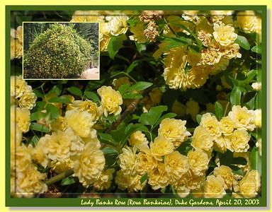 Rose Gardens - Duke Gardens, Durham, NC