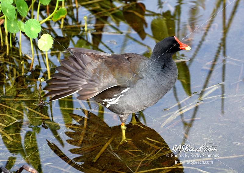 Common Moorhen Duck in the Wakodahatchee Wetlands, Palm Beach