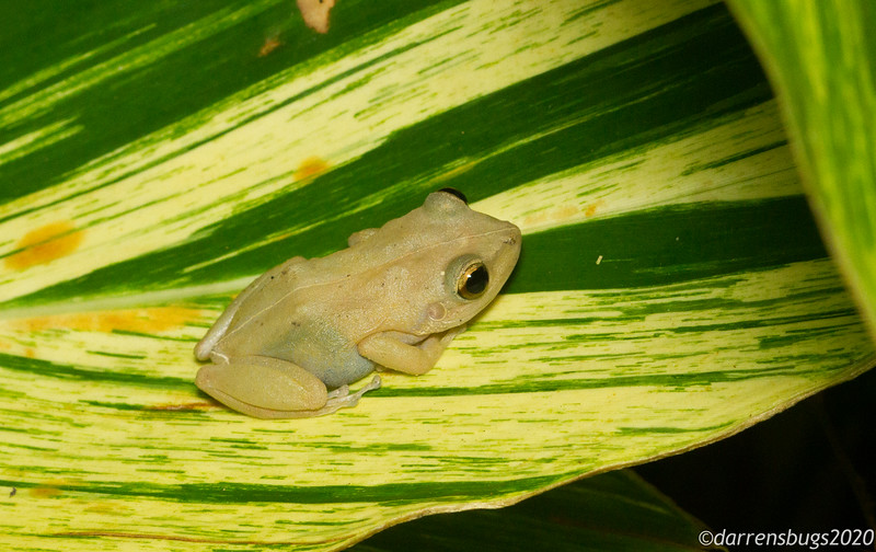 Puerto Rican coqui frog, so named for their vocalizations.