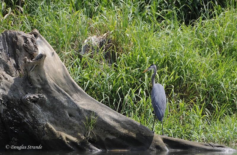 311-1021-CrocSafari-Heron.jpg