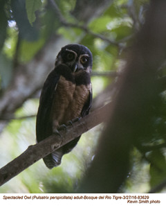 Spectacled Owl A83655.jpg