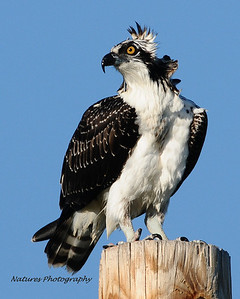 Osprey at Breslers