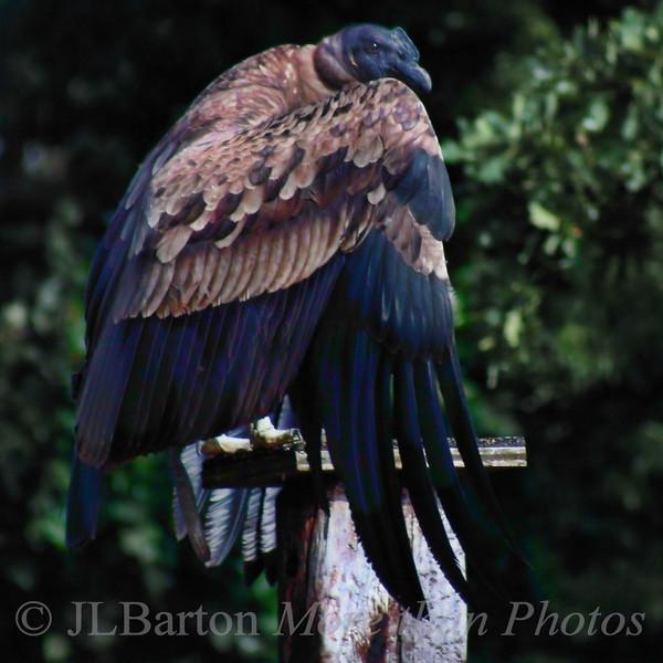 Mysterious Condor