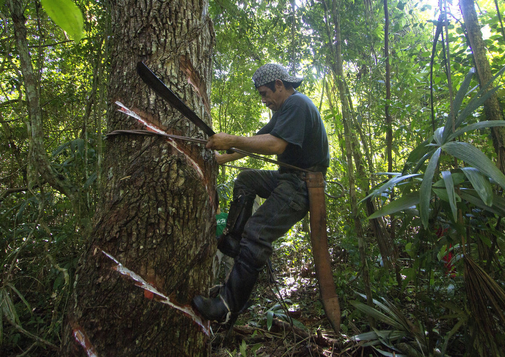 """. The \'chiclero\' Alfredo Rodriguez works in the process of extracting latex from a chicozapote tree for making the base of gum used for organic chewing gum, in the jungle of Tres Garantias in Quintana Roo State, Mexico, on November 16, 2012. Small chewing gum producers are using old Mayan ways in the Yucatan rainforest to harvest the original \""""chicle\"""", which is making a comeback thanks to growing demand for organic gum in Europe and Asia.  Pedro PARDO/AFP/Getty Images"""