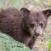 Black Bear - Jasper National Park