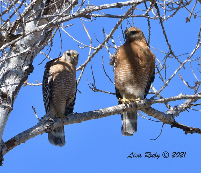 Red-shouldered Hawks  - 2/22/2021 - Poway Creek