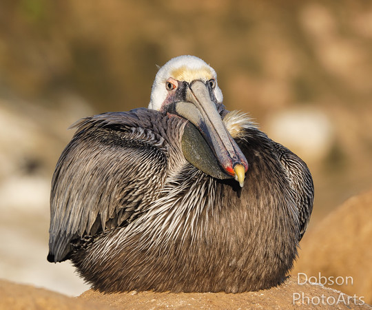 Brown Pelicans III