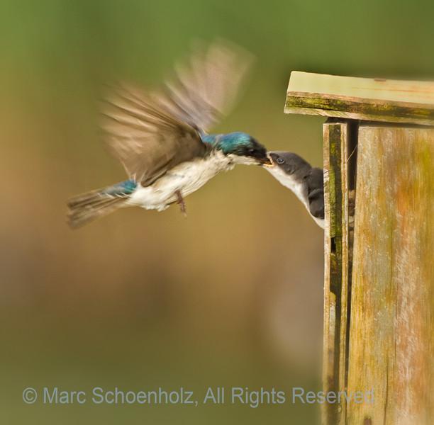 Adult Tree Swallow Feeding Baby, Photographed at: Richard DeKorte Park , Lyndhurst, NJ. June, 2010  ©2010 Marc Schoenholz  Exposure and Camera Info Camera:  Canon EOS 7D Lens: 700  Shutter Speed: 1/250,  Aperture: 6.3 ISO Setting: 400