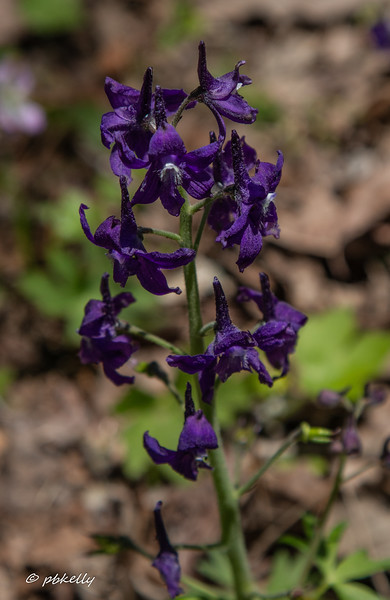 Dwarf Larkspur, a first for me.