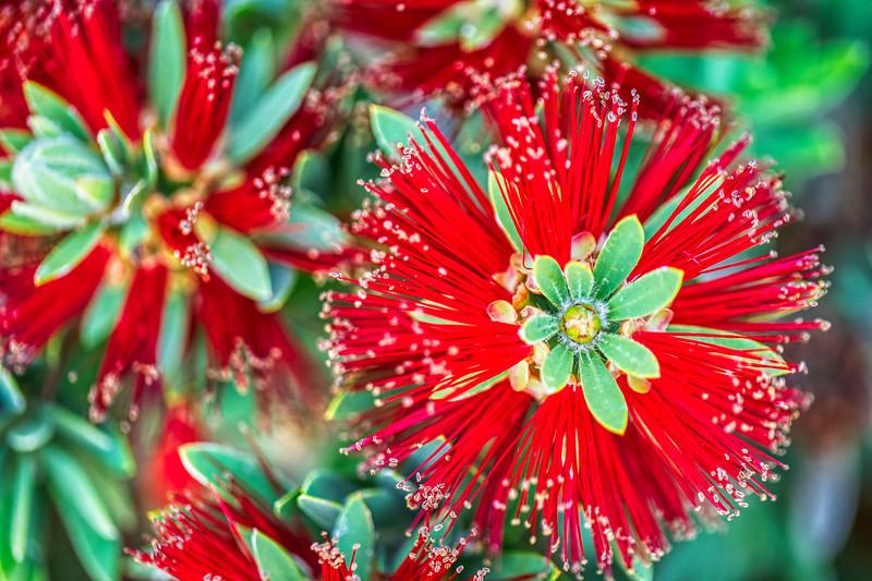 Crimson Bottlebrush-2.jpg