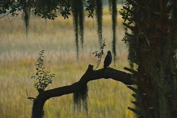 Hawk or Falcon in Silhouette 12-19-18