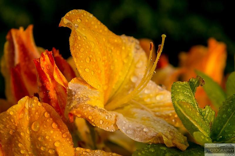 Yellow Rhoddi Sml-100.jpg