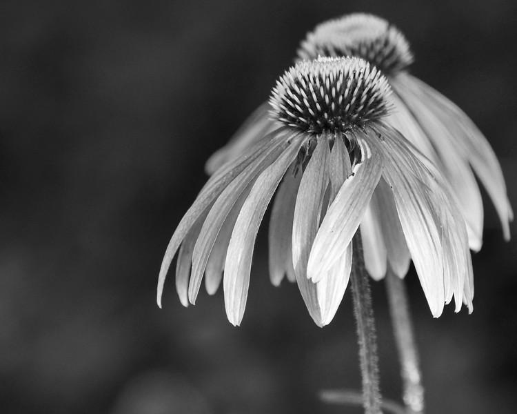 Cone flower bw.jpg