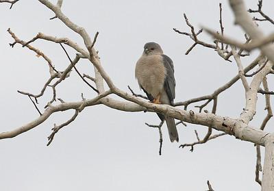Arovarpushaukka (Accipiter badius)