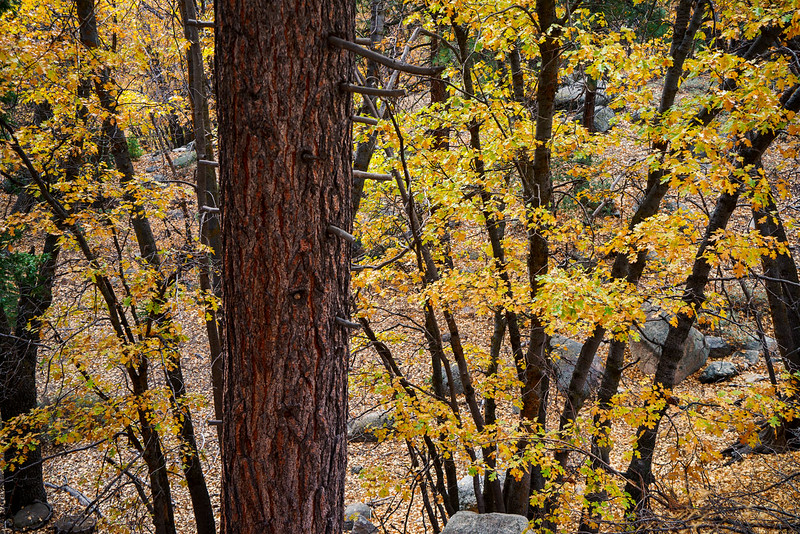 San_Bernardino_Mountains_Fall_Color_Oak_Trees_DSC3299.jpg