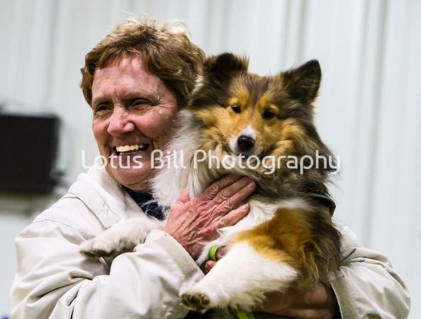 Shetland Sheepdog 1 KY