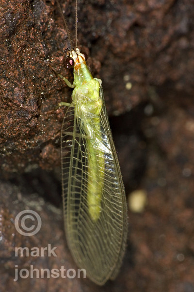 Lacewings - Neuroptera
