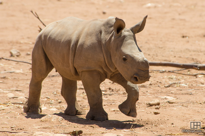 Young White Rhinoceros calf