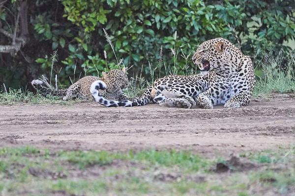Leopard Cubs with Brother Mara Kenya 2018
