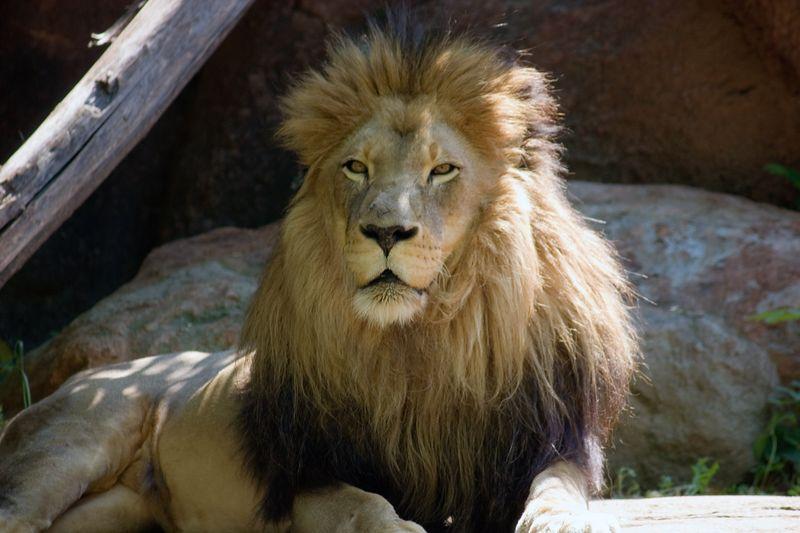 African Lion, Panthera Leo Krugeri, Male, Zoo, Atlanta, Georgia, USA