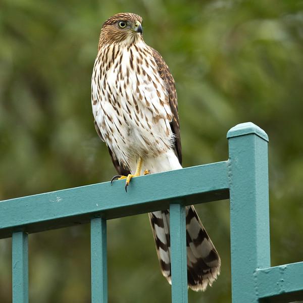 Hawk_19.jpg