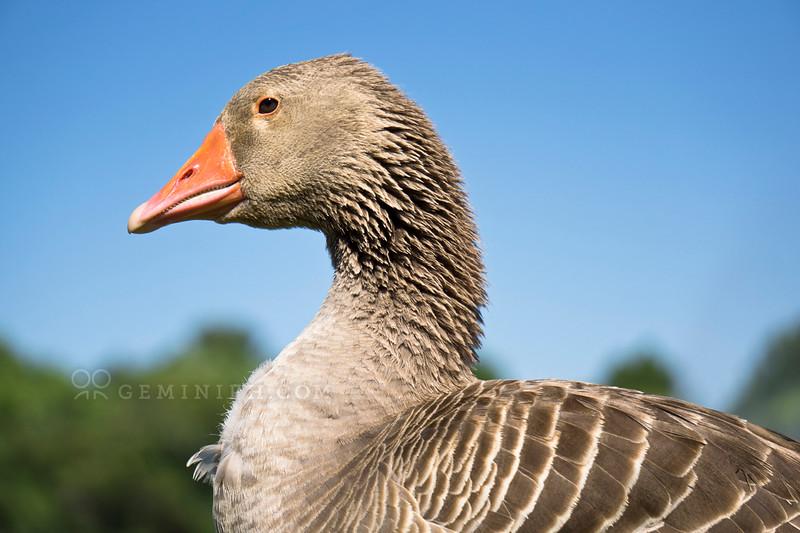DSC08477_Greylag Goose mod_web.jpg