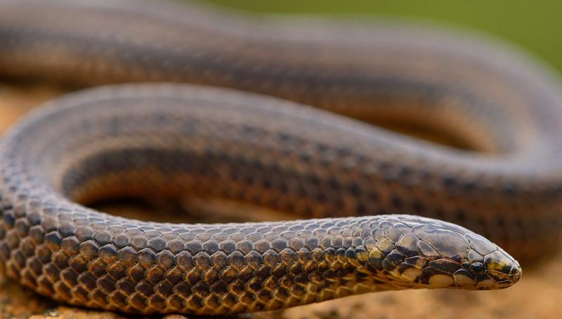 Perrotet's Wood Snake-Nilgiris-2.jpg
