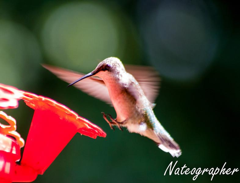 HummingBirds-4217.jpg