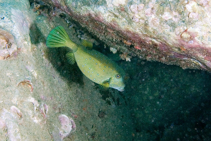 Blue Spotted Trunk Fish.jpg