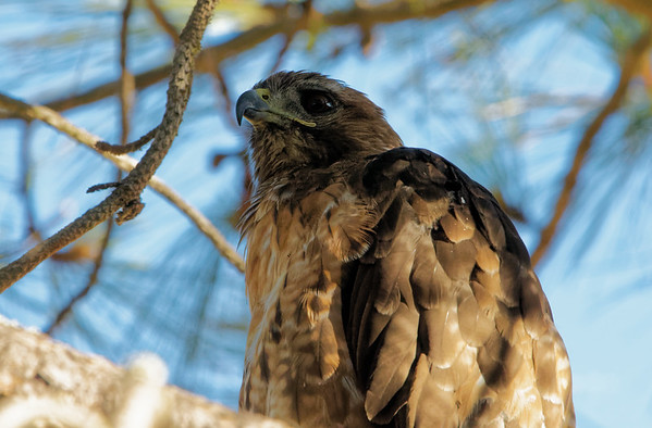 Red-tailed hawk in Lathrop Park