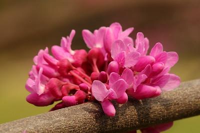 Eastern Redbud (Cercis canadensis) bloom near Jamestown, VA. © 2007 Kenneth R. Sheide
