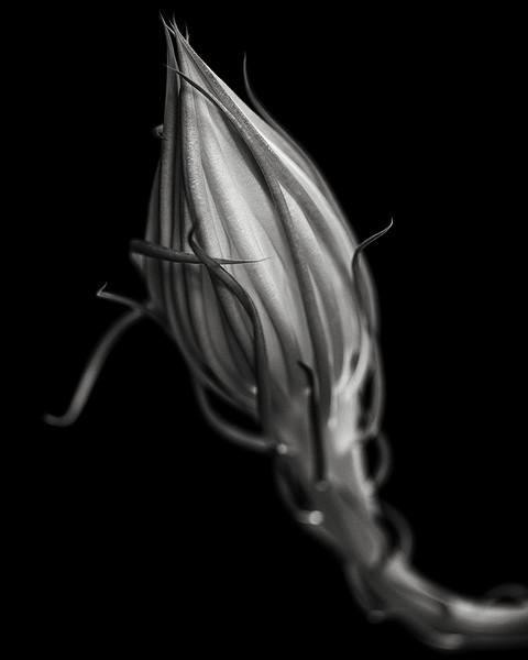 night-blooming orchid cactus bud (epiphyllum oxypetalum)