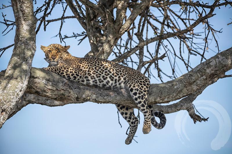 last leopard.tif