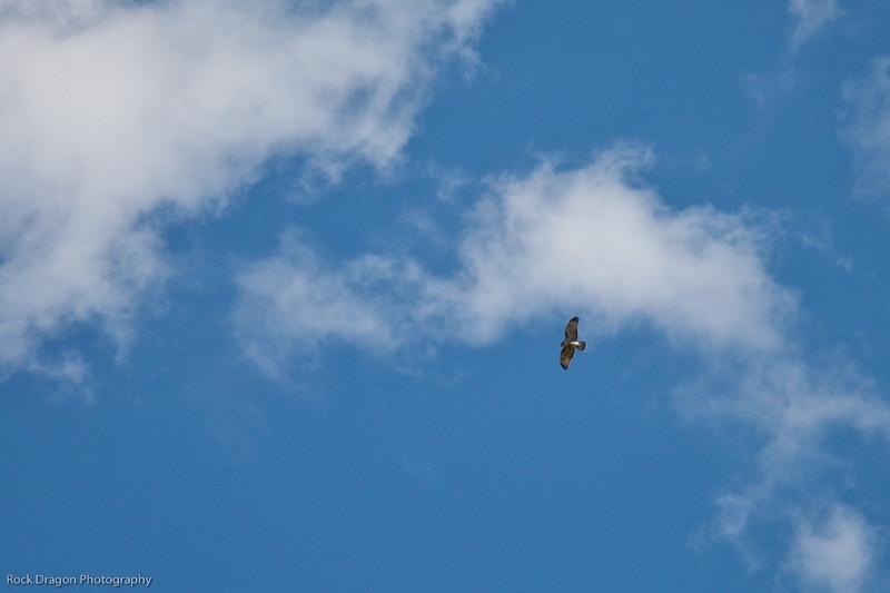 Golden Eagle in Sunshine Meadows, Banff National Park